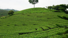 Tea Plantation Ha Giang