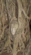 Buddha Head Within Tree Trunk